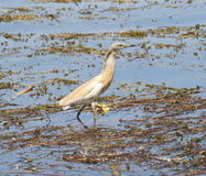 Squacco heron standing in shallow water Stock Photo
