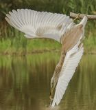 Squacco Heron striking for a prey Stock Images