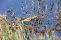 Squacco heron in the swamp Royalty Free Stock Photo
