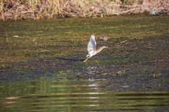 Squacco heron taking off from a swap in the Nile. Close to Aswan royalty free stock photos