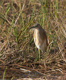 Squacco heron in tall grass Royalty Free Stock Images