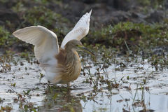 Squacco heron. Trying to scare away a hamerkop Stock Photography