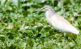 Squacco heron walking through marsh Royalty Free Stock Photography