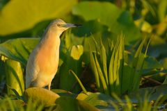 Squacco Heron on Waterlily Leaves Stock Photos