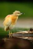 Squaccoreiger, Ardeola ralloides, gele watervogel in de habitat van de het grasaard van het aardwater groene, Hongarije stock afbeelding