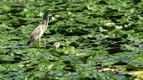 Squaccoreiger onder waterlelies royalty-vrije stock foto's