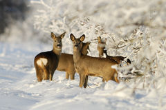 Squad of roe deers. In a sunny winter evening Royalty Free Stock Photography