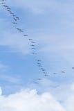 Squadra del pellicano di Brown in volo Fotografia Stock Libera da Diritti