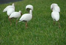 Squadra dell'ibis Immagine Stock