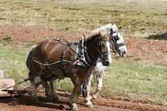 Squadra di cavalli immagine stock