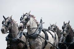 Squadra di cavalli di cambiale di Percheron Fotografia Stock Libera da Diritti