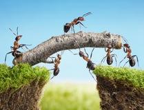 Squadra di formiche che costruiscono ponticello, lavoro di squadra