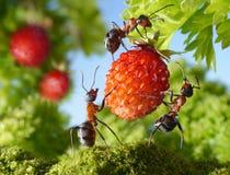 Squadra di formiche e di fragola, lavoro di squadra di agricoltura Immagini Stock