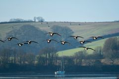 Formation flying Canada geese in Cornwall England. A squadron of low flying geese over a quiet creek in Cornwall UK, on a cool morning royalty free stock photo