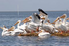 Squadron of Pelicans Preparing to Take Off. royalty free stock photos