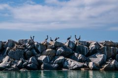 A squadron of pelicans on top of a wall of boulders and rocks. With blue green water at the base of the wall. The sky is blue with white puffy clouds. There is royalty free stock images