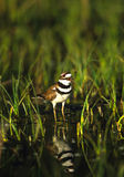 Squaking Killdeer Royalty Free Stock Photo