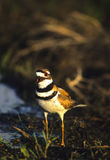 Squaking Killdeer Stock Images