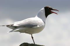 Squaking sea gull Stock Image