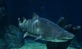 squali Fotografia Stock