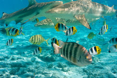 Squali all'oceano immagini stock libere da diritti