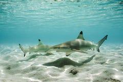 Squali della scogliera di Blacktip in acqua bassa fotografia stock libera da diritti
