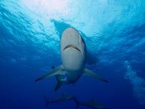 Squali serici sotto la barca in chiara acqua blu Immagini Stock Libere da Diritti
