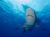 Squali serici sotto la barca in chiara acqua blu Immagini Stock