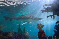 Squalo in acquario Immagine Stock
