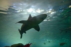 Squalo in acquario Fotografie Stock