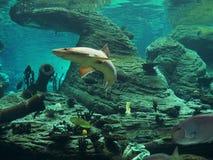 Squalo - acquario Fotografie Stock