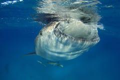 Squalo balena Immagini Stock
