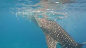 Squalo balena in oceano archivi video
