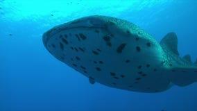 Squalo balena su una barriera corallina Immagine Stock Libera da Diritti