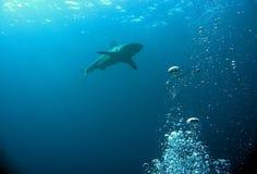 Squalo caraibico della scogliera Fotografia Stock Libera da Diritti