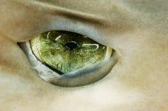Squalo dell'occhio verde Immagine Stock Libera da Diritti