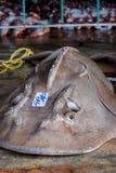 Squalo della chitarra della bocca dell'arco Fotografie Stock Libere da Diritti