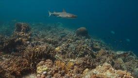 Squalo della scogliera di Whitetip su una barriera corallina Fotografie Stock Libere da Diritti