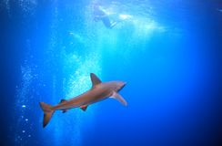 Squalo della scogliera subacqueo Fotografia Stock