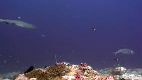 Squalo della scogliera subacqueo su fondo di corallo stupefacente nel fondale marino Maldive stock footage