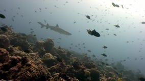 Squalo della scogliera subacqueo su fondo di corallo stupefacente nel fondale marino Maldive archivi video