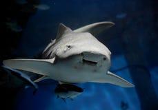 Squalo della zebra o primo piano di stegostoma fasciatum dello squalo del leopardo con il remora remora del suckerfish fotografia stock libera da diritti