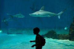 Squalo di banco di sabbia (plumbeus del Carcharhinus) Fotografie Stock