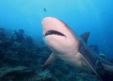 Squalo di Bull (squalo dello Zambezi) Fotografie Stock