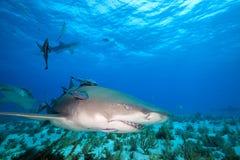 Squalo di limone, Bahamas fotografie stock libere da diritti
