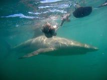 Squalo di rame subacqueo fotografia stock libera da diritti
