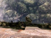 squalo nel porticciolo nelle chiavi di Florida fotografia stock