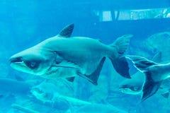 Squalo, stingray ed altri pesci nel mare subacqueo di Singapore Immagini Stock