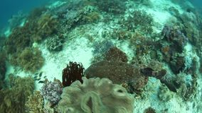 Squalo Tasseled di Wobbegong che nuota sopra Coral Reef archivi video