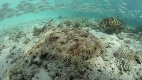 Squalo Tasseled di Wobbegong in Raja Ampat stock footage